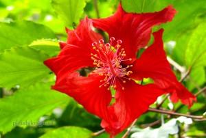 inside hibiscus