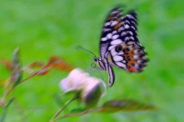 butterfly-52