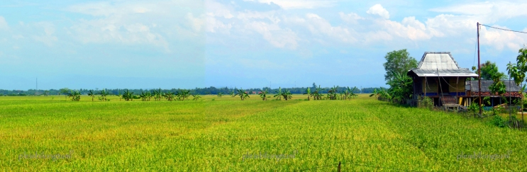 ricefield1