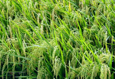 ricefield2