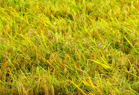 ricefield3