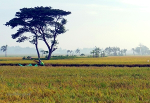 ricefield4